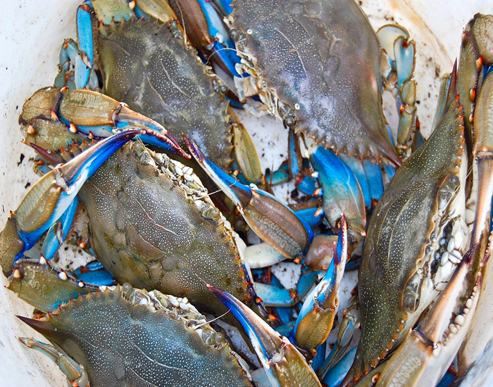blue crabs © Mike Nocher